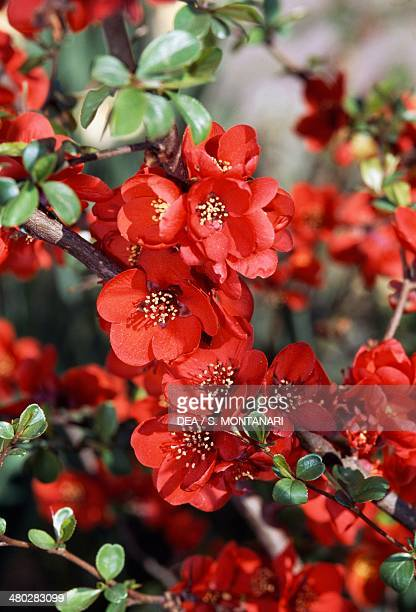 Flowering quince red Japanese quince white or mugua white Rosaceae