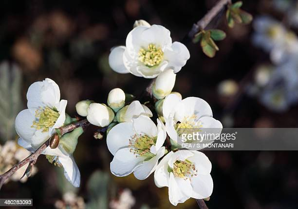 Flowering quince white Japanese quince white or mugua white Rosaceae