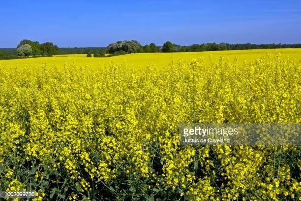 Flowering rape field (Brassica napus), landscape with yellow rape fields in may, Kreis Herzogtum Lauenburg, Schleswig-Holstein, Germany