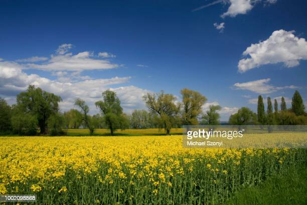 Flowering rape fields and fruit trees by Lake Constance, Scherzingen, Thurgau, Switzerland