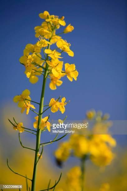 Flowering rape or rapeseed (Brassica napus), Lufigen, Zurich, Switzerland