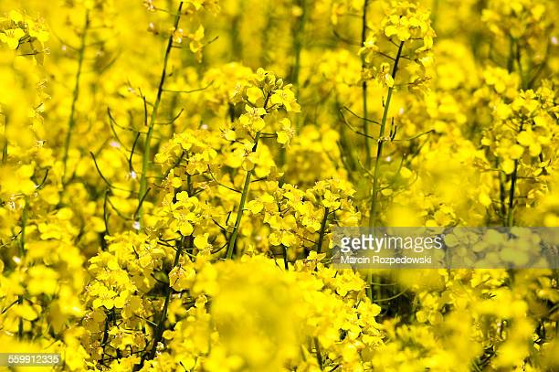 flowering rapeseed - canola oil stock pictures, royalty-free photos & images