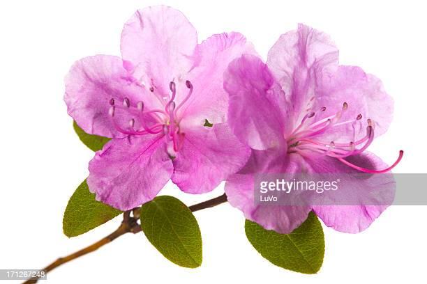 Blühenden rhododendron