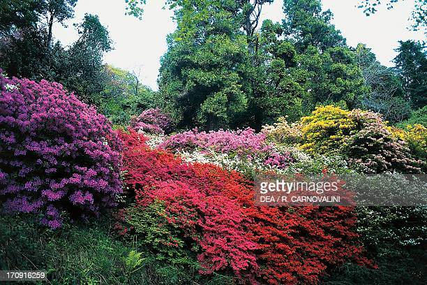Flowering rhododendrons in Special Nature Reserve of Burcina Biella Piedmont Italy