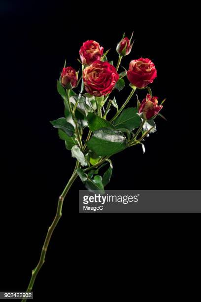 flowering rose plant on black background - long stem flowers stock pictures, royalty-free photos & images