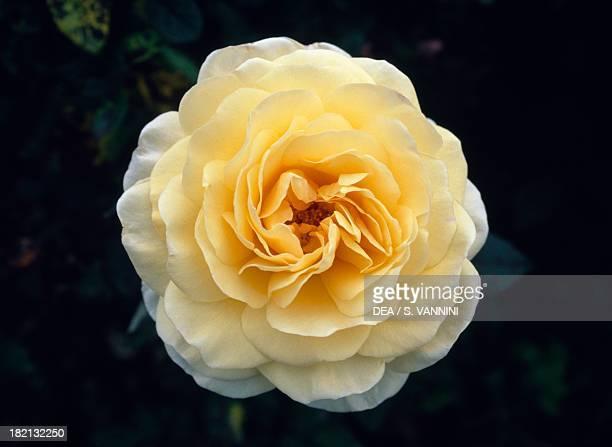 Flowering rose Rosaceae