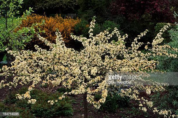 Flowering Sargent Crabapple Rosaceae