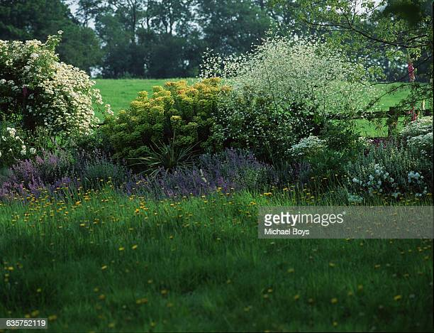 Flowering shrubs including heartleaf crambe and catmint conceal the paddock fence in the gardens at Hill House Stanstead Abbots in Hertfordshire The...