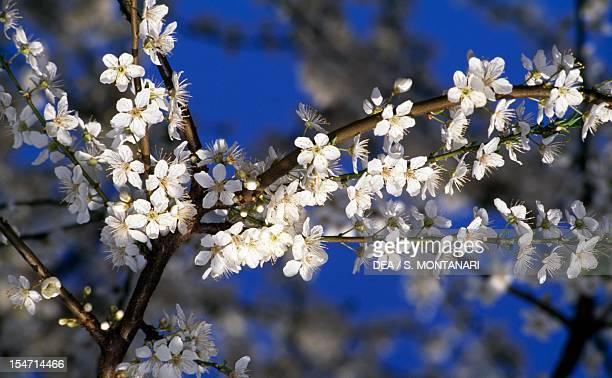 Flowering Spring Cherry branch Rosaceae