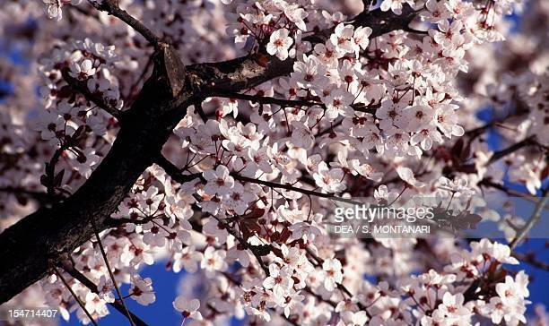 Flowering Spring Cherry branches Rosaceae