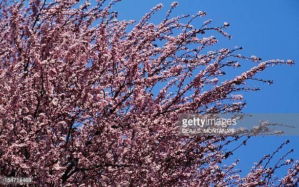 Flowering Spring Cherry in bloom Rosaceae
