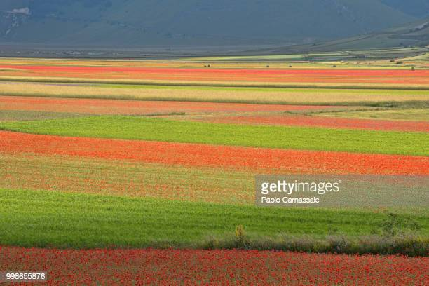 flowering striped meadow - castelluccio stock photos and pictures