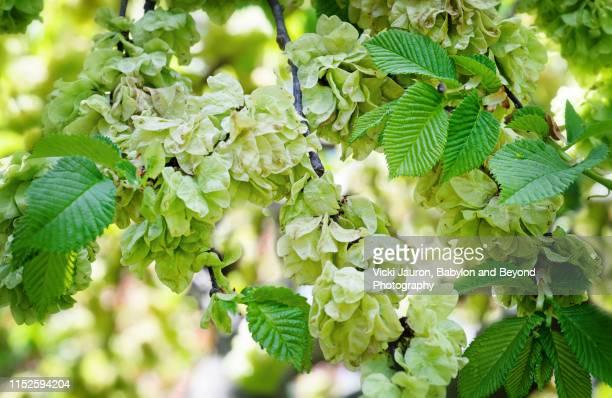 flowering tree and beautiful vibrant green leaves in a garden in babylon, long island - gekarteld stockfoto's en -beelden