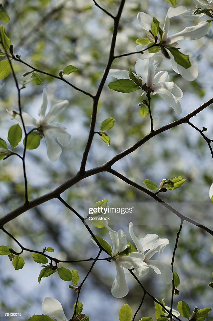 Flowering tree branch : Stockfoto