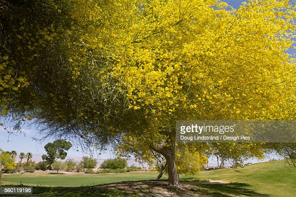a flowering tree in palm springs, ca. in april, 2013. tree was on a golf course. not sure what kind? - acacia tree stock photos and pictures