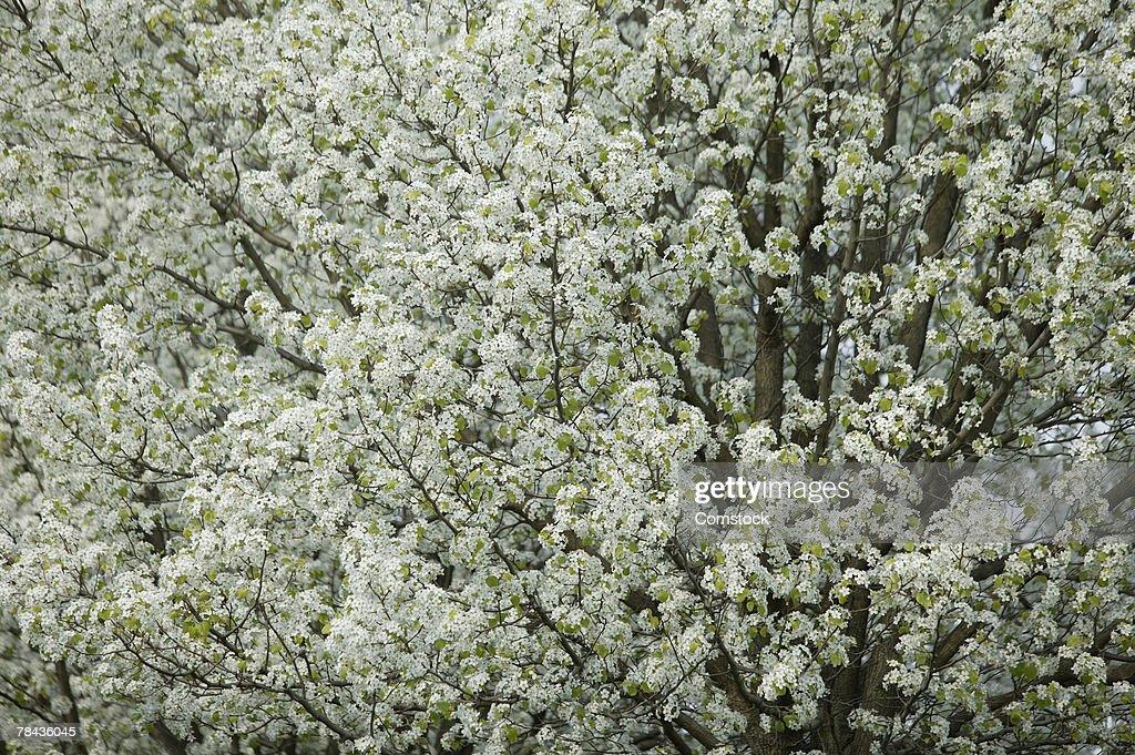 Flowering tree in spring : Stockfoto