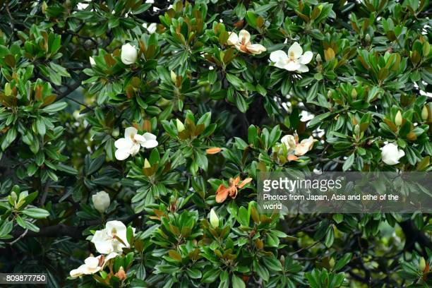 60 Top Magnolia Pictures Photos Images Getty Images
