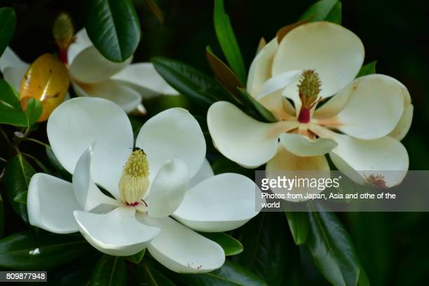 flowering tree / magnolia grandiflora / southern magnolia - magnolia stock photos and pictures