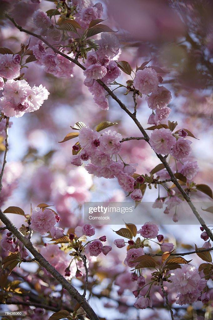Flowering tree : Stockfoto