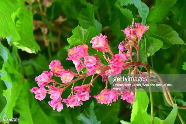 flowering tree / red horse chestnut tree - picture of a buckeye tree stock photos and pictures