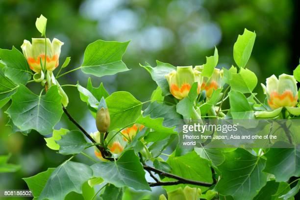 flowering tree / tulip tulip flowers - tulip tree stock photos and pictures