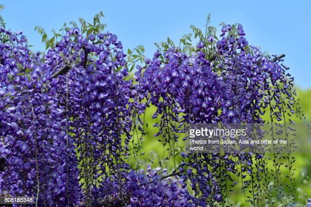 Flowering Tree / Wisteria Flowers