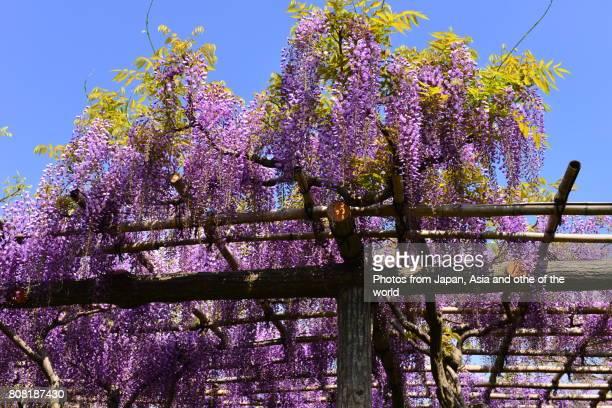 flowering tree / wisteria flowers - glicine foto e immagini stock
