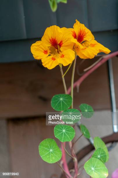 flowering tropaeolum majus - nasturtium stock pictures, royalty-free photos & images