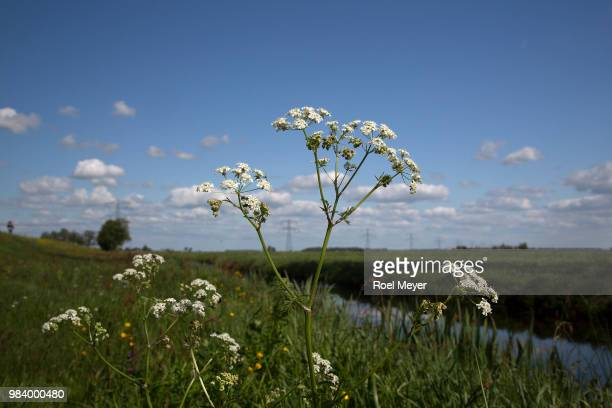 Flowering umbels of Cow parsley on blue sky