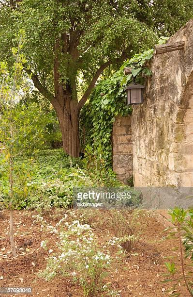 Flowering Wild Olive tree inside the Alamo San Antonio Texas
