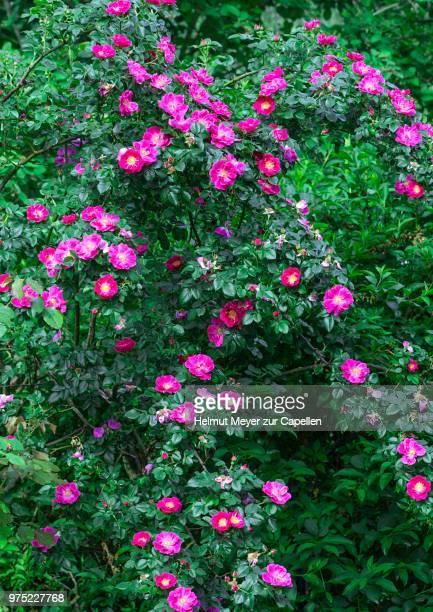 Flowering Wild Rose (Rosa), bush, Bavaria, Germany