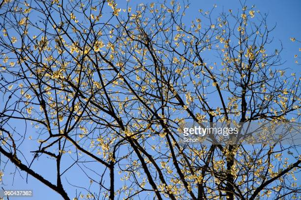 flowering willow tree at blue sky in spring - bare tree stock pictures, royalty-free photos & images