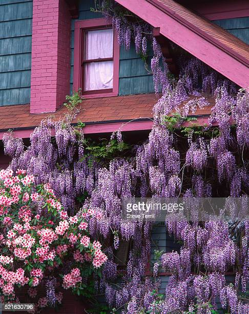 flowering wisteria and rhododendron gracing a house - glycine photos et images de collection