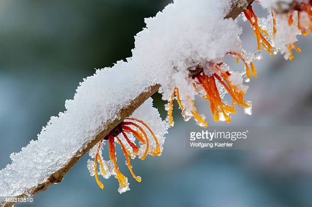 A flowering Witch hazel bush is covered with snow in January in a Bellevue Washington State USA garden