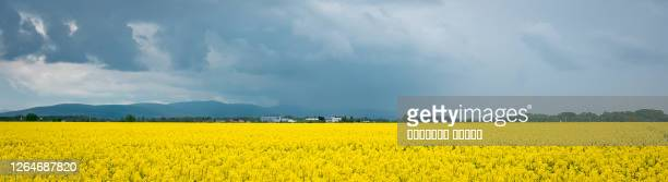 flowering yellow buckwheat field and a beautiful sky with clouds - hungria fotografías e imágenes de stock