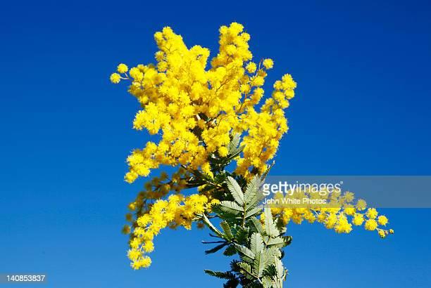 Flowering yellow wattle. South Australia.