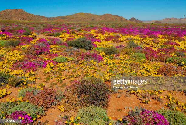 flowers after heavy rainfall in the succulent karoo, namaqualand, near aus, namibia - ナマクワランド ストックフォトと画像