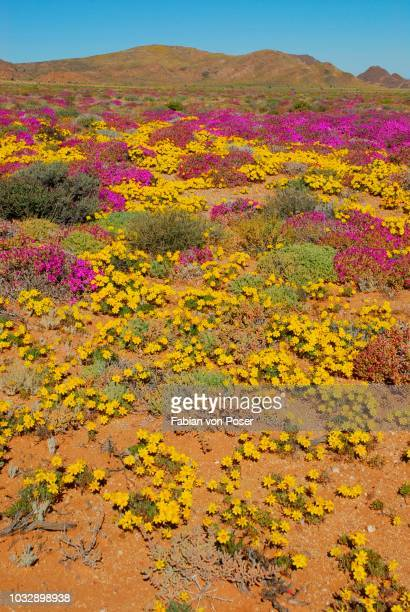 flowers after heavy rainfall in the succulent karoo, namaqualand, near aus, namibia - the karoo stock pictures, royalty-free photos & images