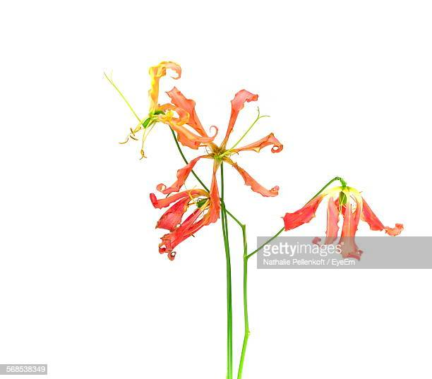 flowers against white background - nathalie pellenkoft stock pictures, royalty-free photos & images