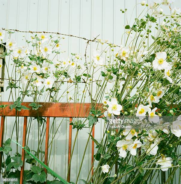 Flowers and barbed wire