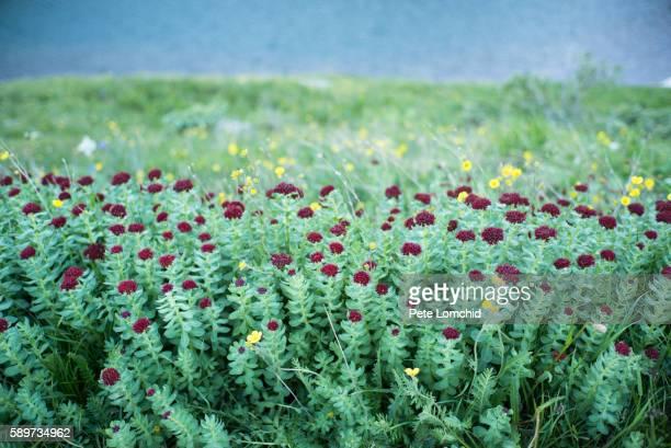 flowers and blue lake - カリフォルニアバイケイソウ ストックフォトと画像