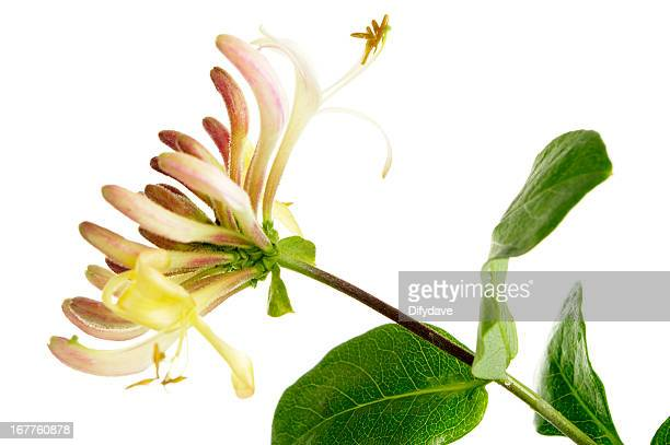 flowers and buds of honeysuckle plant isolated on white - honeysuckle stock pictures, royalty-free photos & images