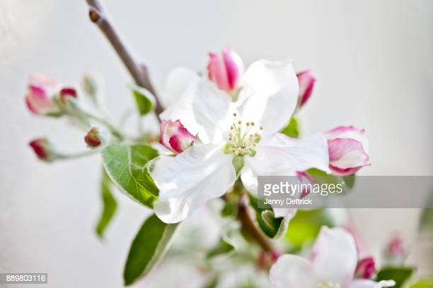 flowers and buds on apple tree - apple blossom tree stock pictures, royalty-free photos & images
