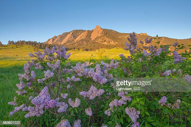 Flowers and Chautauqua Mountain in Boulder, Colorado