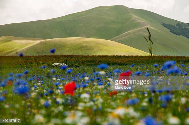 flowers and hills - castelluccio stock photos and pictures