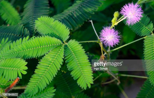 flowers and leaves of sensitive plant (mimosa pudica), brazil - mimose foto e immagini stock