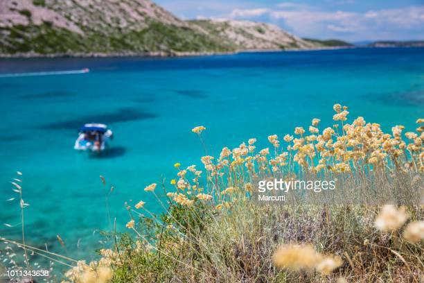 flowers and turquoise sea water in island rab - kroatië stockfoto's en -beelden