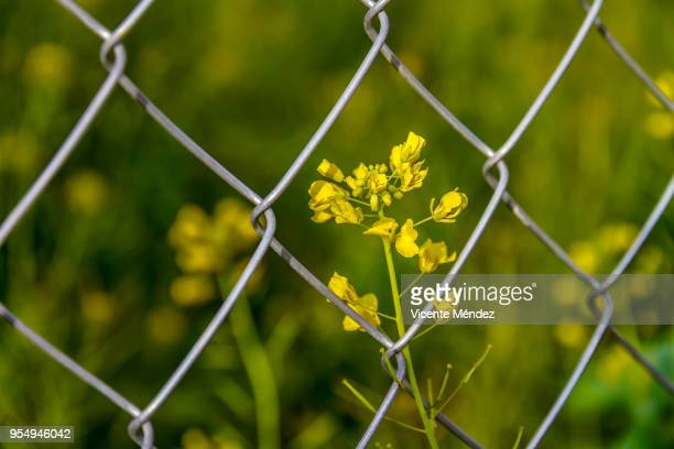 Flowers and wire fence