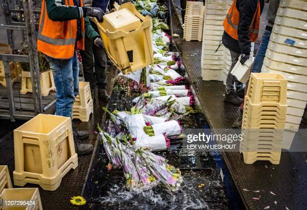 Flowers are being destroyed at the flower auction on March 16 2020 in Aalsmeer The Dutch horticultural sector is sounding the alarm about the effects...