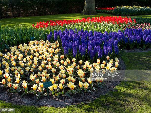 Flowers are in full bloom at the Keukenhof flower park on April 6 2008 in Lisse The Netherlands The park has millions of bulbs in bloom and according...